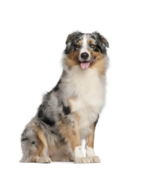 Personalized Custom Australian-Shepherd Bobbleheads