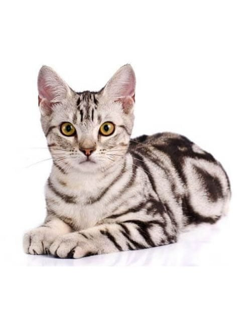 General-American-Shorthair-Cat-Breed-Questions