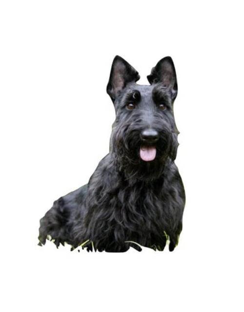 Scottish_Terrier