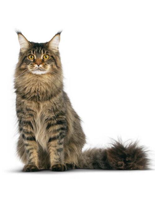 Tabby-Maine-Coon-Cat