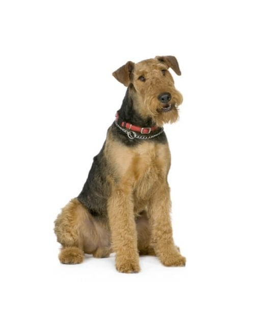 airedale-terrier bobbleheads